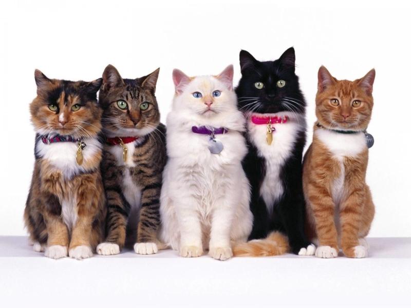Лучшие ошейники для кошек